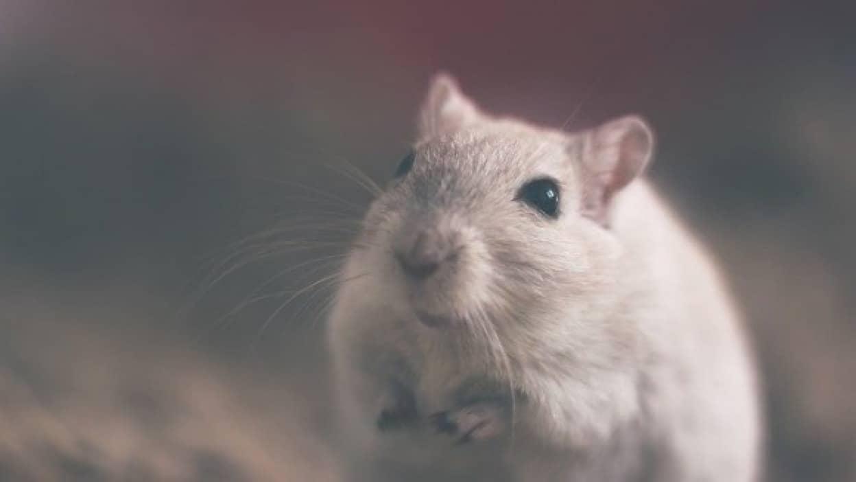 mouse-801843_640_e