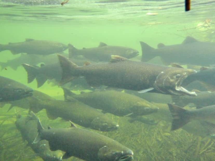 川で産卵するサケ