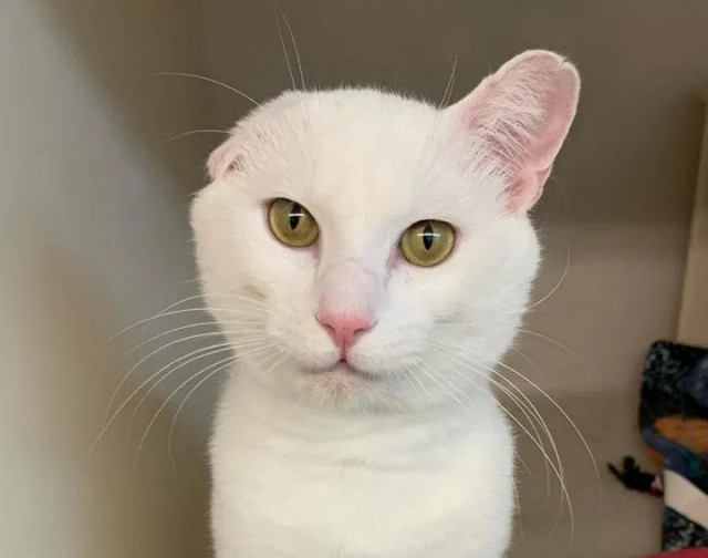 人懐っこい片耳の白猫が再び家族に巡り合うまでの物語