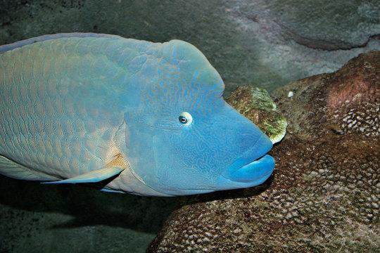 Humphead_wrasse_melb_aquarium