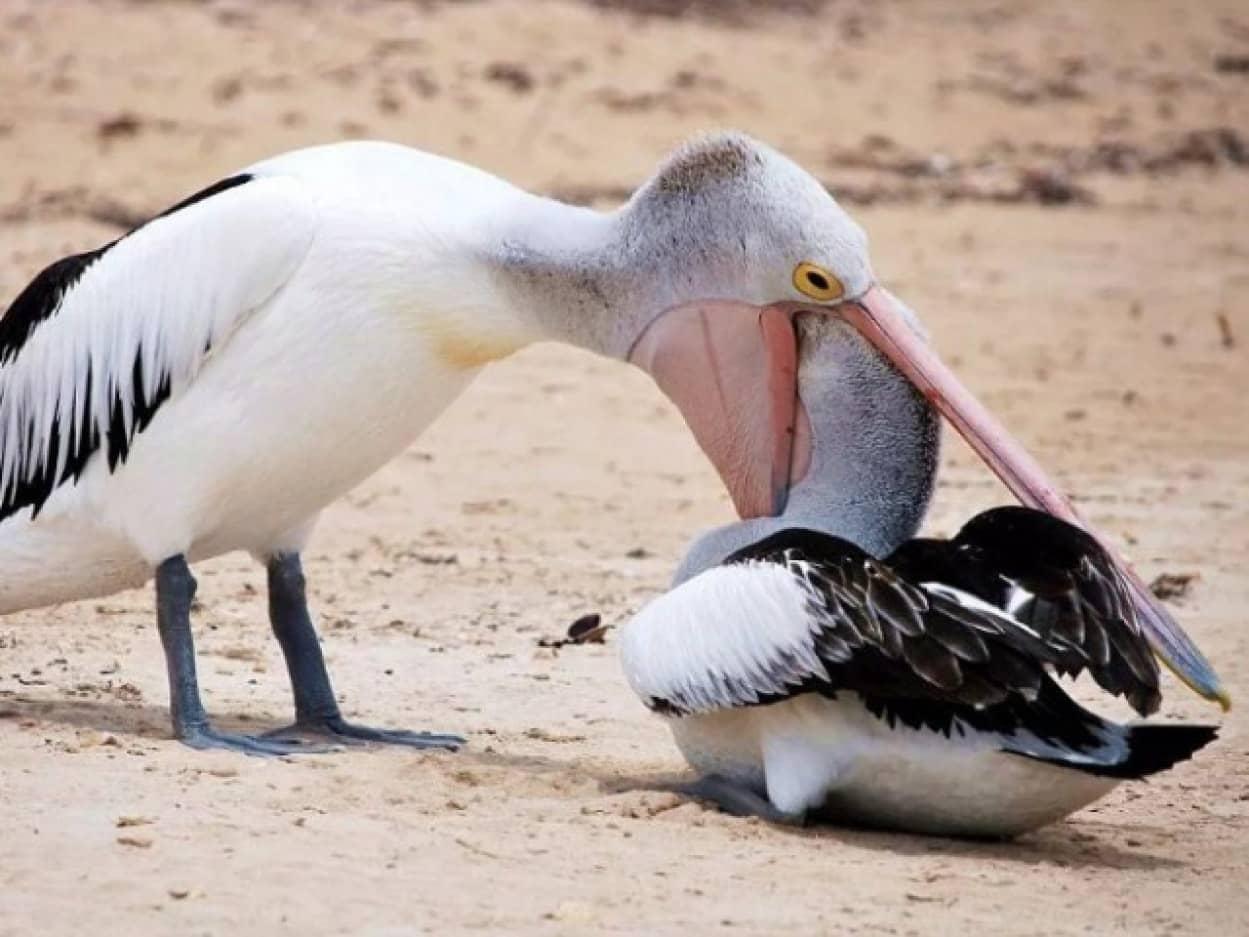 他の動物を食べようとするペリカンの所作