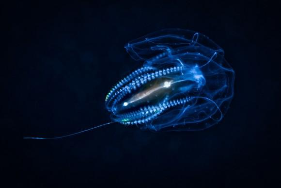 フンを出すときだけ肛門を作る。一時的な肛門を形成するクシクラゲの仲間を発見(米研究)