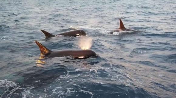 チリの沖合を泳いでいた幻のシャチの撮影に成功。新種の可能性も