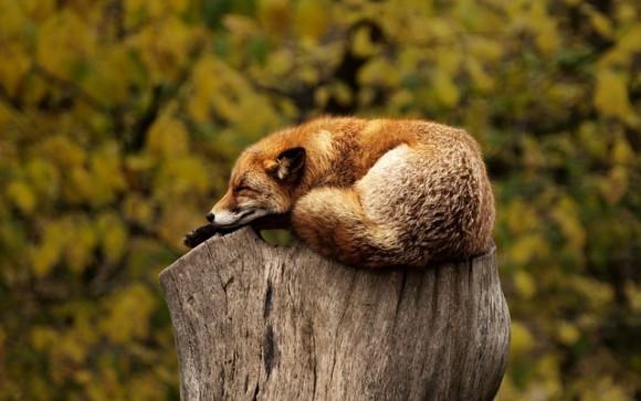 fox-1284512_640_e