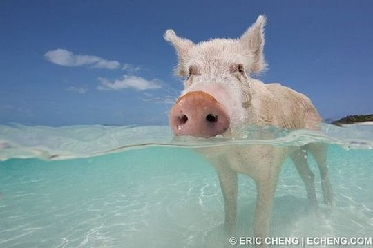 swimming_pigs_04