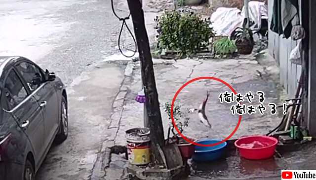 生きのいい魚、たらいから飛び出し排水溝に移動、脱出精巧