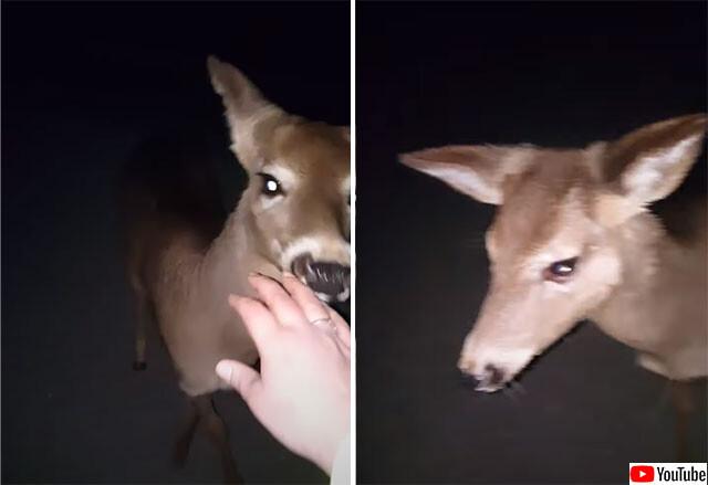 深夜に徒歩で自宅に向かっていた女性に寄り添い続けた野生の鹿