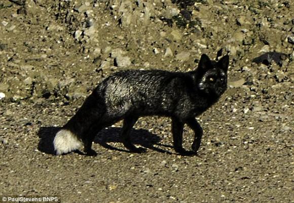 平和の象徴?不吉の前兆?激レアキャラ。黒いキツネがイギリスで発見される。