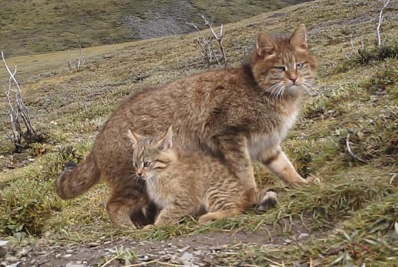 世界で最も知られていない猫。不思議と謎につつまれたハイイロネコの巣穴が発見される