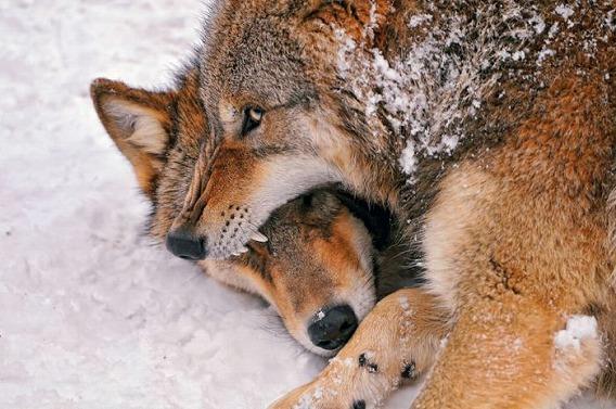 wolf_08