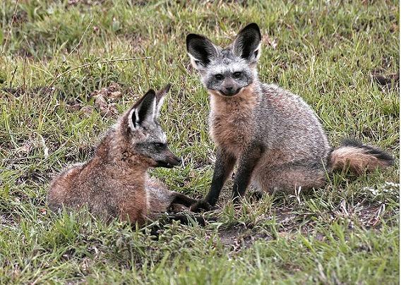 bat eared fox 2