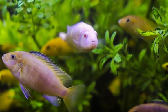 魚も人間と同じように仲間の顔を見分けることができる(日本研究)