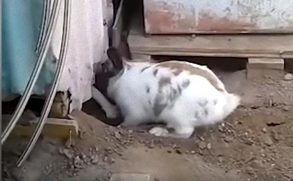 猫ちゃんが小屋に閉じ込められちゃった!ウサギフレンドの穴掘り救出大作戦(スペイン)