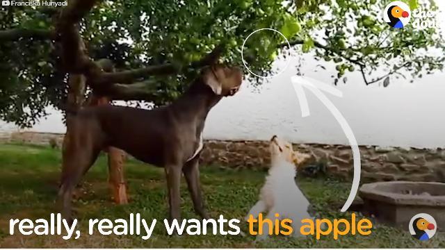 これが犬のさりげないやさしさ。小さい犬にリンゴを取ってあげる大きい犬
