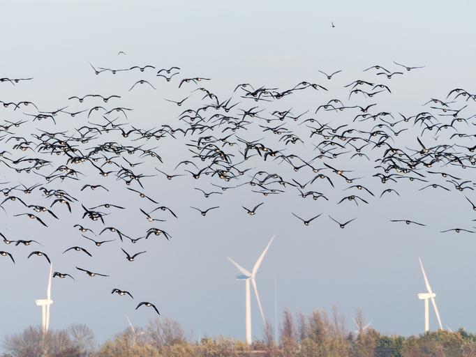 風車の羽を黒く塗ると鳥の衝突死を抑えられる