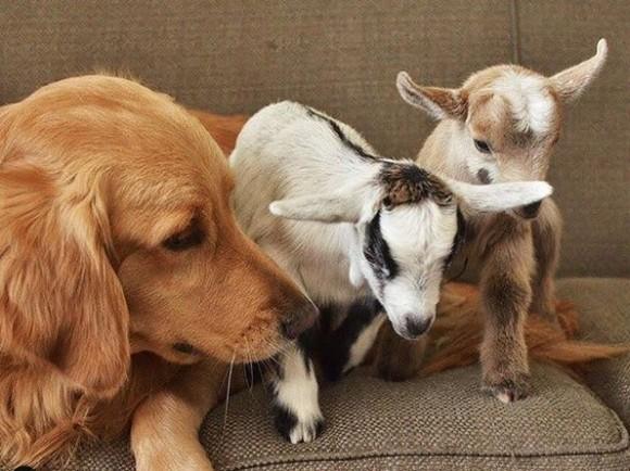 農場に連れて来られた山羊の赤ちゃんを我が子のように育てるゴールデン・レトリバー