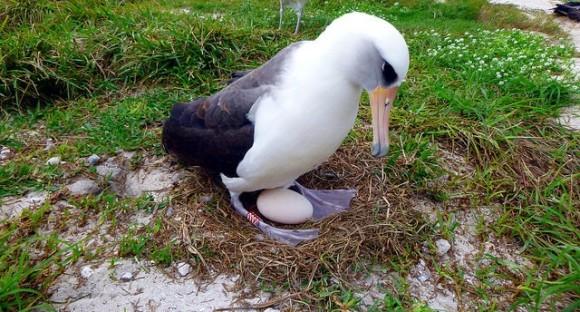 老いてなおがんばる!66歳のアホウドリのお母さんが卵を産んで子育て準備