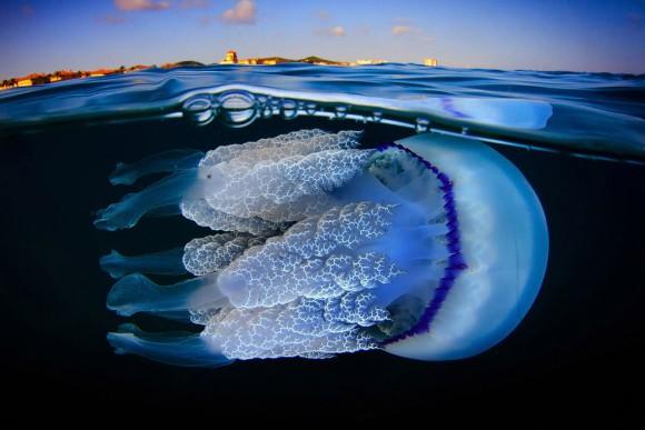 すごくかっこいいぞ。スペインにいる神秘のクラゲ