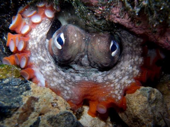 タコが作った海底都市「タコランティス」の存在が明らかに(国際研究)