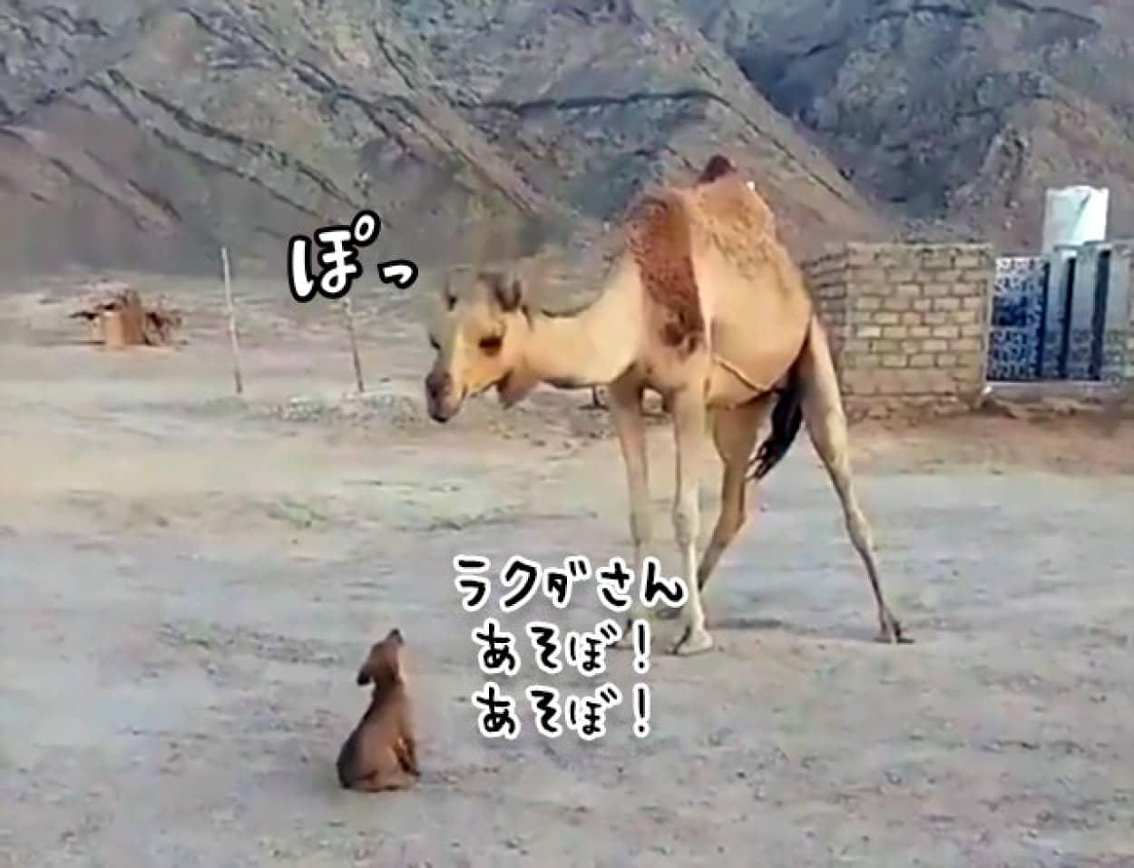 ラクダが近づいてきた子犬にキスをするやさしい世界