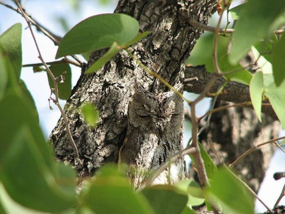 camouflaged_owls_09_e