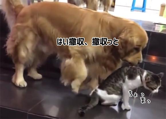 「はい、撤収撤収!」猫に挑もうとした猫、犬にくわえられ強制送還