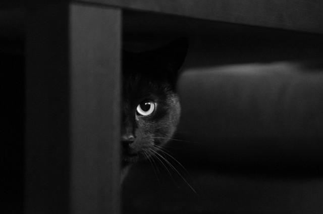 猫が野生のコヨーテを追い払う