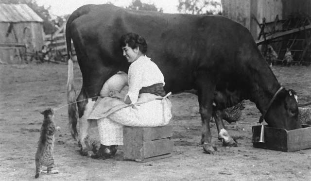 搾りたての牛乳をダイレクトキャッチ!100年前は牛から直接猫にミルクを与えていたた