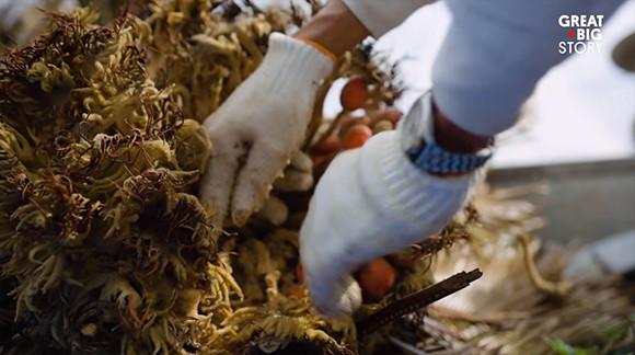 有毒の植物「ソテツ」を知恵と工夫で食用にし「命の恩人」として大切に育てている奄美大島の人々
