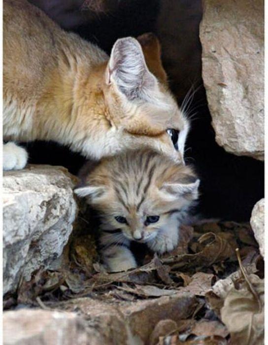sand_cat_kitten_08