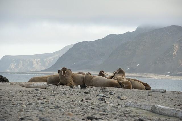 walrus-2809181_640