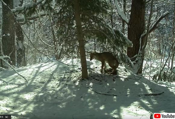 福島の避難区域は今、野生動物の楽園となっていた(米調査)