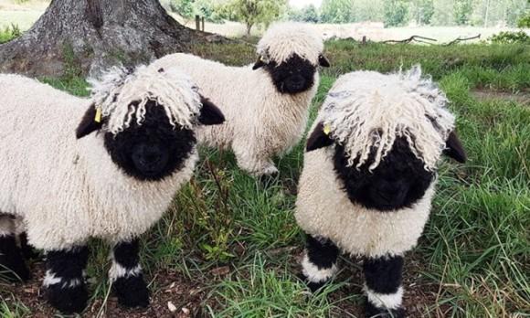 世界で最もかわいい羊と評される「ヴァレーブラックノーズ」の白黒 ...