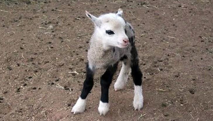 今度のハイブリッドは相当かわいい。ヤギパパ、羊ママの間に生まれたギープの子