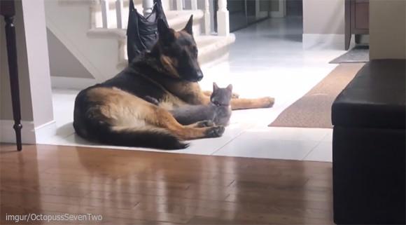 犬とイチャイチャしてるところを他の猫には見られたくなかった猫の反応