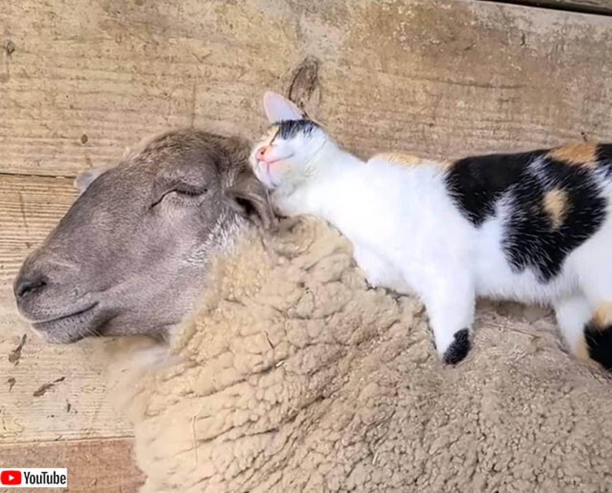 そのベッドウール100%につき。純毛羊の上で眠る猫