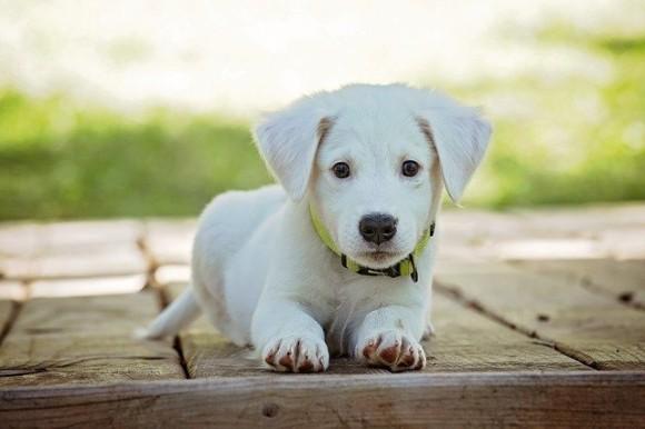 子犬は生まれつき人間とコミュニケーションをとれる能力を持っている