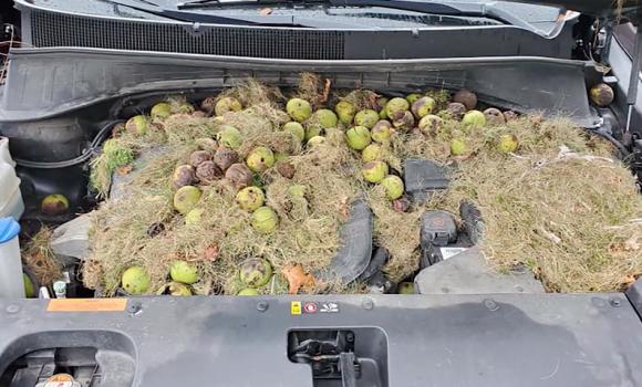 開けてびっくり!車のボンネットの中にリスが大量に食料を備蓄していた件(アメリカ)