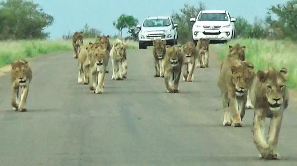 15頭ものライオンが一挙に押し寄せてきたよ!国立公園で最大のライオンの群れに遭遇(南アフリカ)