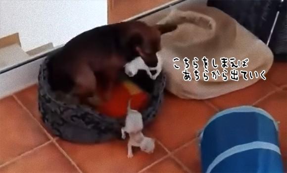 脱走に次ぐ脱走。子猫のベビーシッター犬は猫あつめに大忙しでひっちゃかめっちゃか