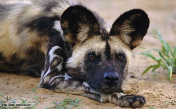 Are African wild dogs dangerous to humans? - Quora