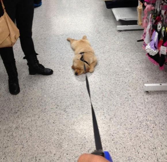 犬だからっていつも散歩がしたいとは限らない。散歩に行きたくない犬たちも面白画像+動画
