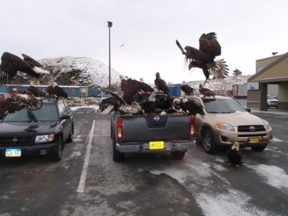 ハクトウワシの集団にヒャッハーされるアラスカの町(アメリカ)