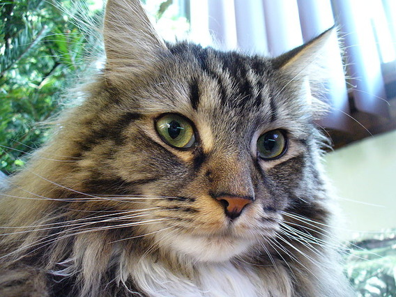 800px-Maine_Coon_2