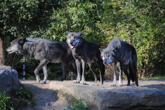 wolves-188553_640_e