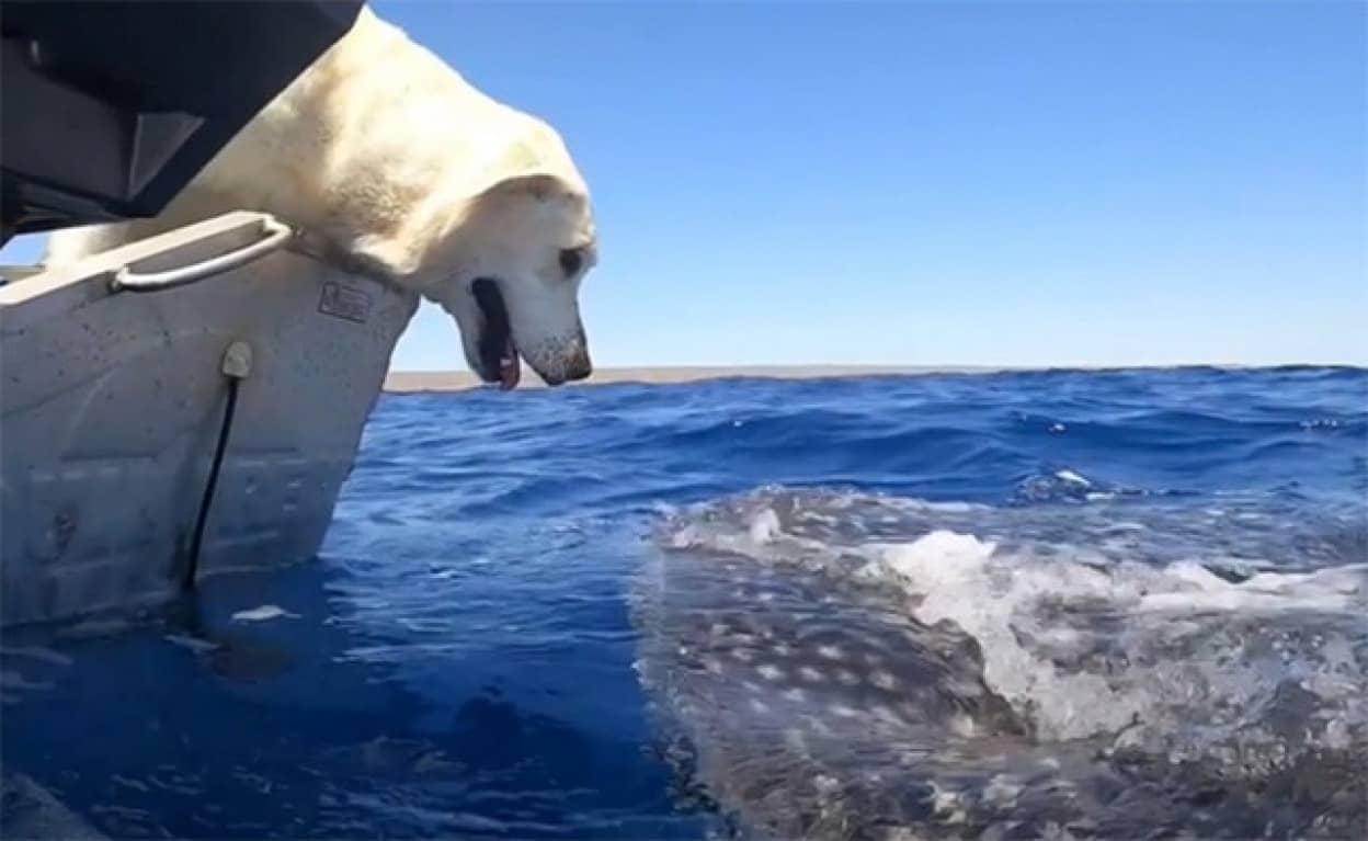 ジンベイザメと遭遇したラブラドールがご挨拶の甘いキス