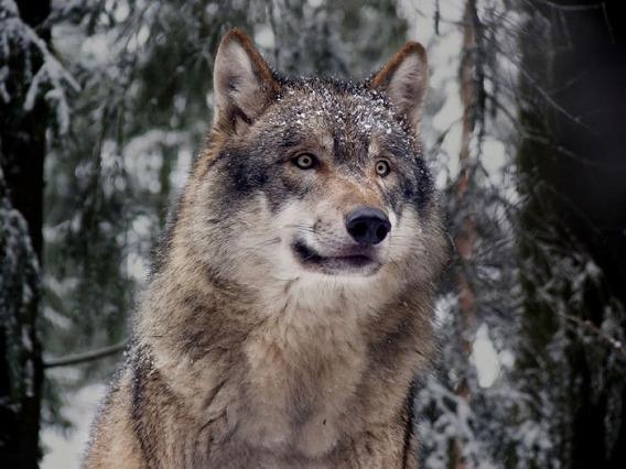 wolf_12