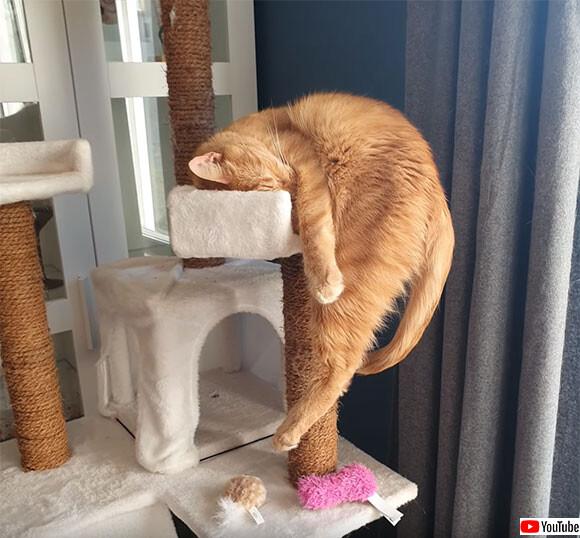なぜ落ちない?キャットタワーで絶妙のバランスで眠る猫
