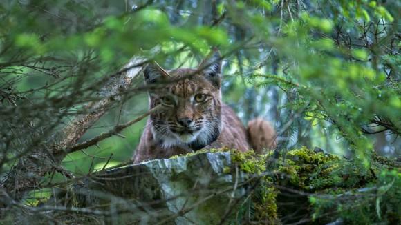スイスで再導入された幻のヤマネコ、「ヨーロッパオオヤマネコ」の野生の姿をとらえた写真と生態系に関する話