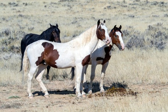 wild-horses-1760582_640_e